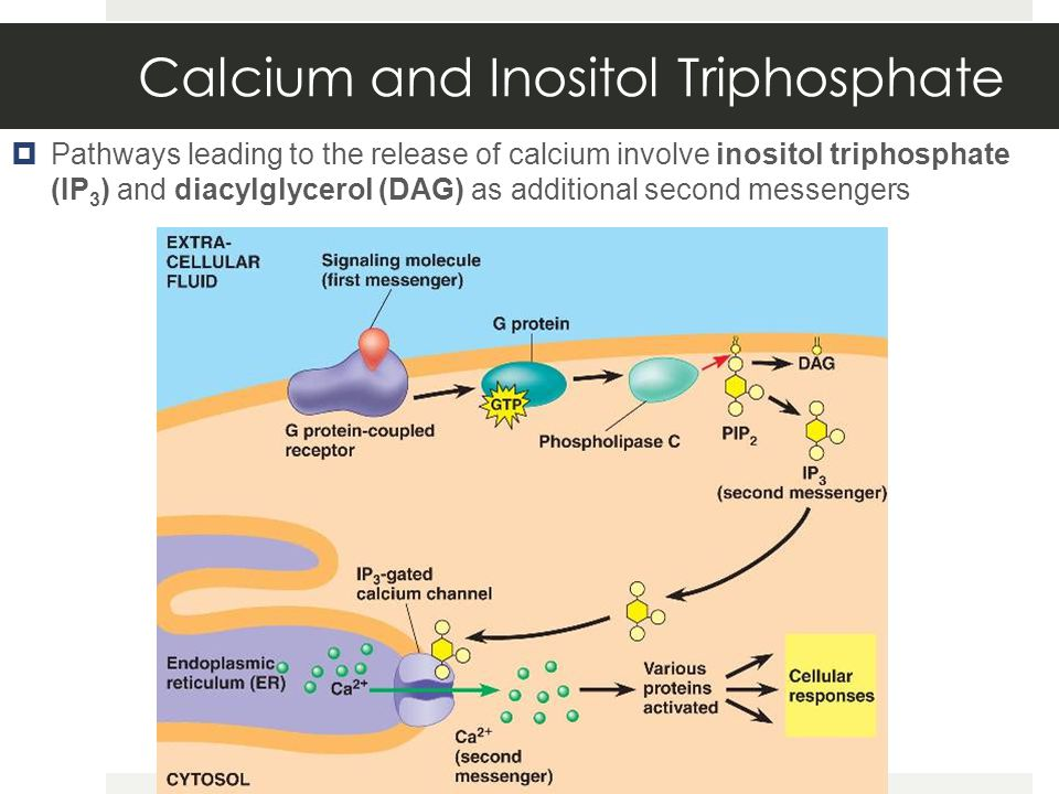 Calcium and Inositol Triphosphate  Pathways leading to the release of calcium involve inositol triphosphate (IP 3 ) and diacylglycerol (DAG) as additional second messengers
