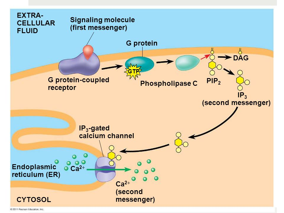 G protein EXTRA- CELLULAR FLUID Signaling molecule (first messenger) G protein-coupled receptor Phospholipase C DAG PIP 2 IP 3 (second messenger) IP 3 -gated calcium channel Endoplasmic reticulum (ER) CYTOSOL Ca 2  (second messenger) Ca 2  GTP
