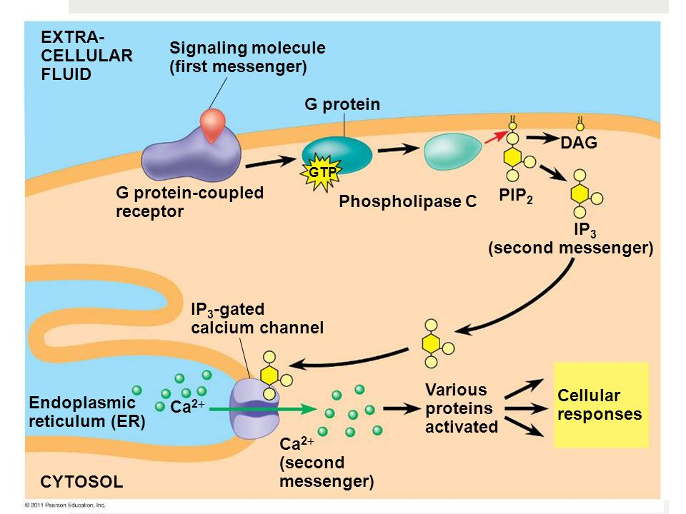 G protein EXTRA- CELLULAR FLUID Signaling molecule (first messenger) G protein-coupled receptor Phospholipase C DAG PIP 2 IP 3 (second messenger) IP 3 -gated calcium channel Endoplasmic reticulum (ER) CYTOSOL Various proteins activated Cellular responses Ca 2  (second messenger) Ca 2  GTP