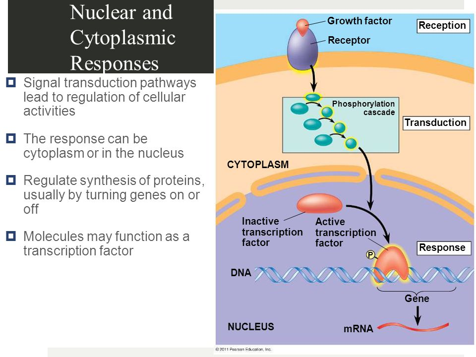 Nuclear and Cytoplasmic Responses  Signal transduction pathways lead to regulation of cellular activities  The response can be cytoplasm or in the nucleus  Regulate synthesis of proteins, usually by turning genes on or off  Molecules may function as a transcription factor Growth factor Receptor Reception Transduction CYTOPLASM Response Inactive transcription factor Active transcription factor DNA NUCLEUS mRNA Gene Phosphorylation cascade P