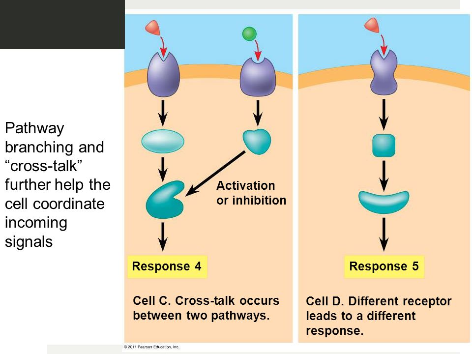 Response 4 Response 5 Activation or inhibition Cell C.