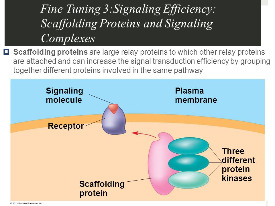 Fine Tuning 3:Signaling Efficiency: Scaffolding Proteins and Signaling Complexes  Scaffolding proteins are large relay proteins to which other relay proteins are attached and can increase the signal transduction efficiency by grouping together different proteins involved in the same pathway Signaling molecule Receptor Plasma membrane Scaffolding protein Three different protein kinases