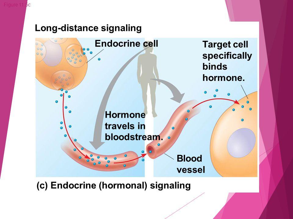 Figure 11.5c (c) Endocrine (hormonal) signaling Long-distance signaling Endocrine cell Target cell specifically binds hormone. Hormone travels in bloo