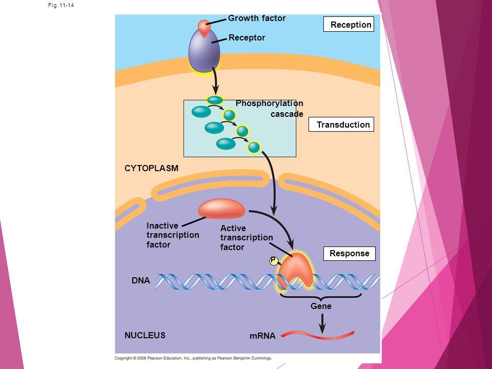 Fig. 11-14 Growth factor Receptor Phosphorylation cascade Reception Transduction Active transcription factor Response P Inactive transcription factor