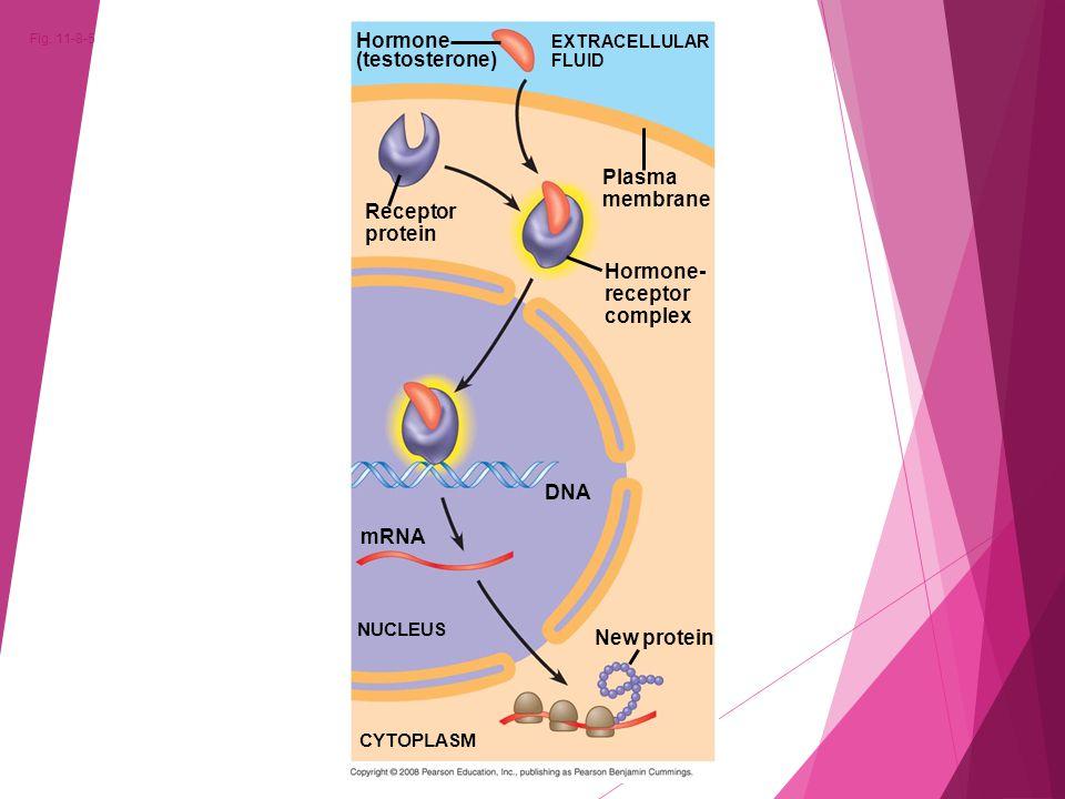 Fig. 11-8-5 Hormone (testosterone) EXTRACELLULAR FLUID Receptor protein Plasma membrane Hormone- receptor complex DNA mRNA NUCLEUS New protein CYTOPLA