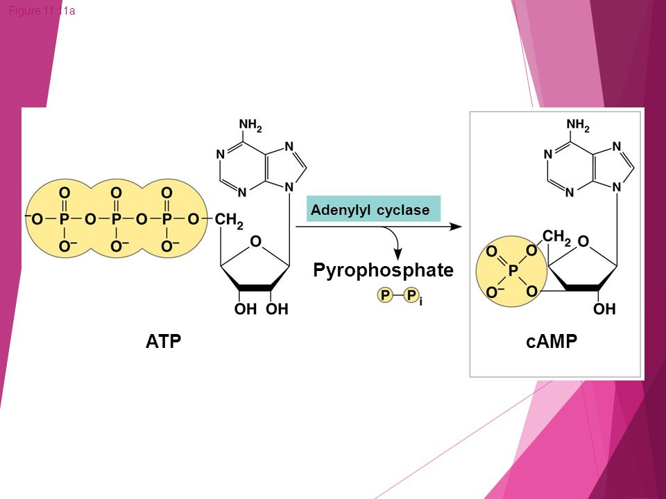 Figure 11.11a ATPcAMP Adenylyl cyclase Pyrophosphate