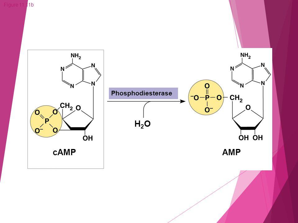 Figure 11.11b cAMP AMP H2OH2O Phosphodiesterase