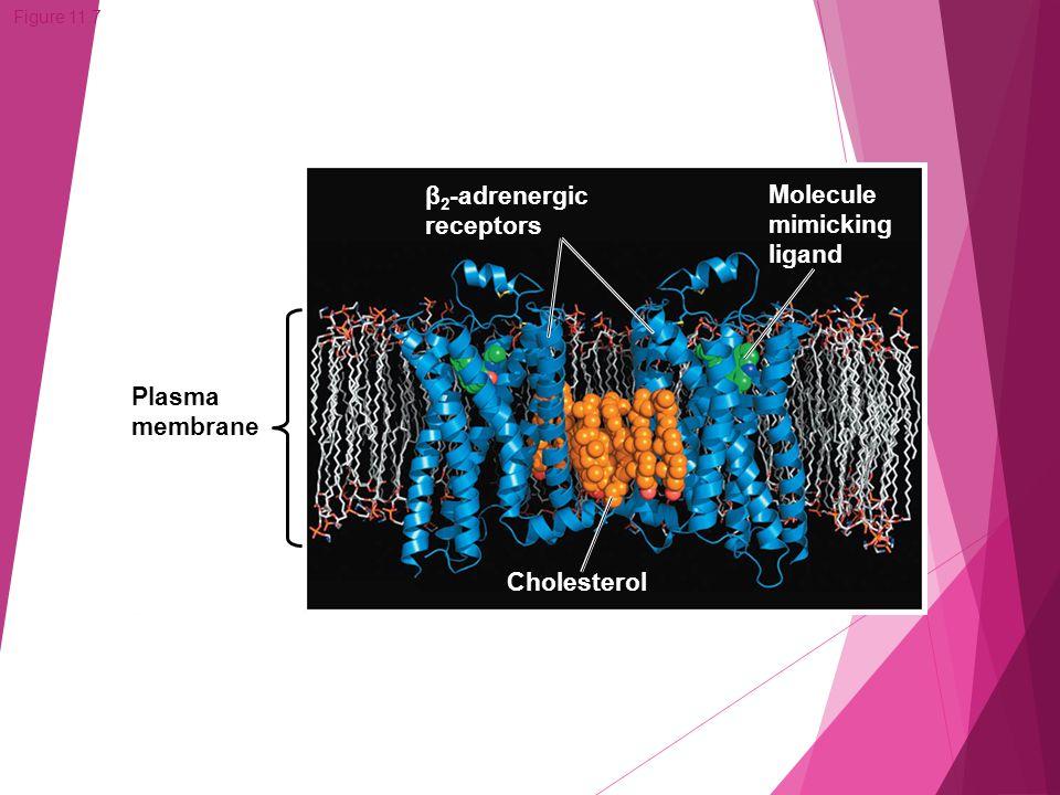 Figure 11.7 Plasma membrane Cholesterol Molecule mimicking ligand β 2 -adrenergic receptors