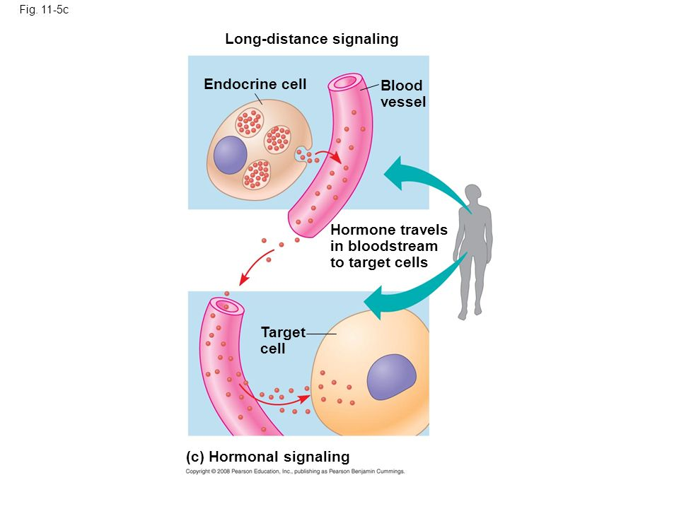 Fig. 11-5c Long-distance signaling Endocrine cell Blood vessel Hormone travels in bloodstream to target cells Target cell (c) Hormonal signaling