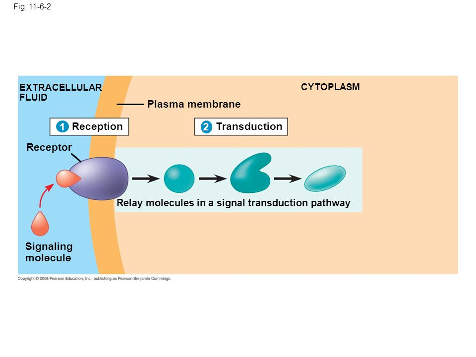 Fig. 11-6-2 1 EXTRACELLULAR FLUID Signaling molecule Plasma membrane CYTOPLASM Transduction 2 Relay molecules in a signal transduction pathway Recepti