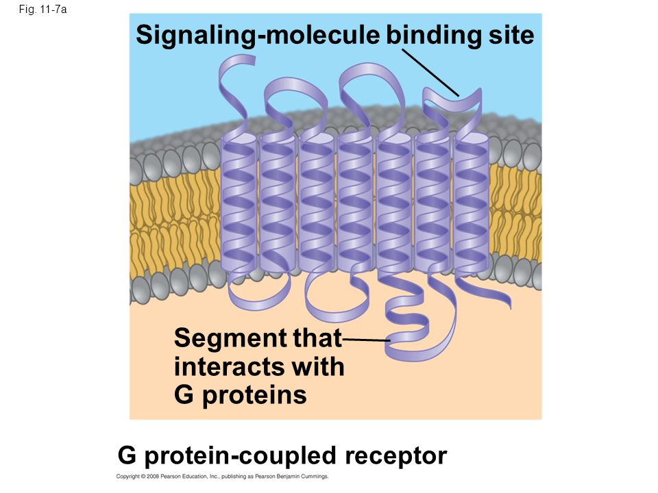 Fig. 11-7a Signaling-molecule binding site Segment that interacts with G proteins G protein-coupled receptor