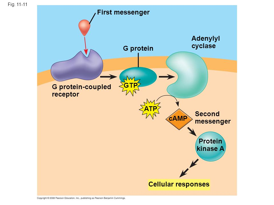 First messenger Fig. 11-11 G protein Adenylyl cyclase GTP ATP cAMP Second messenger Protein kinase A G protein-coupled receptor Cellular responses