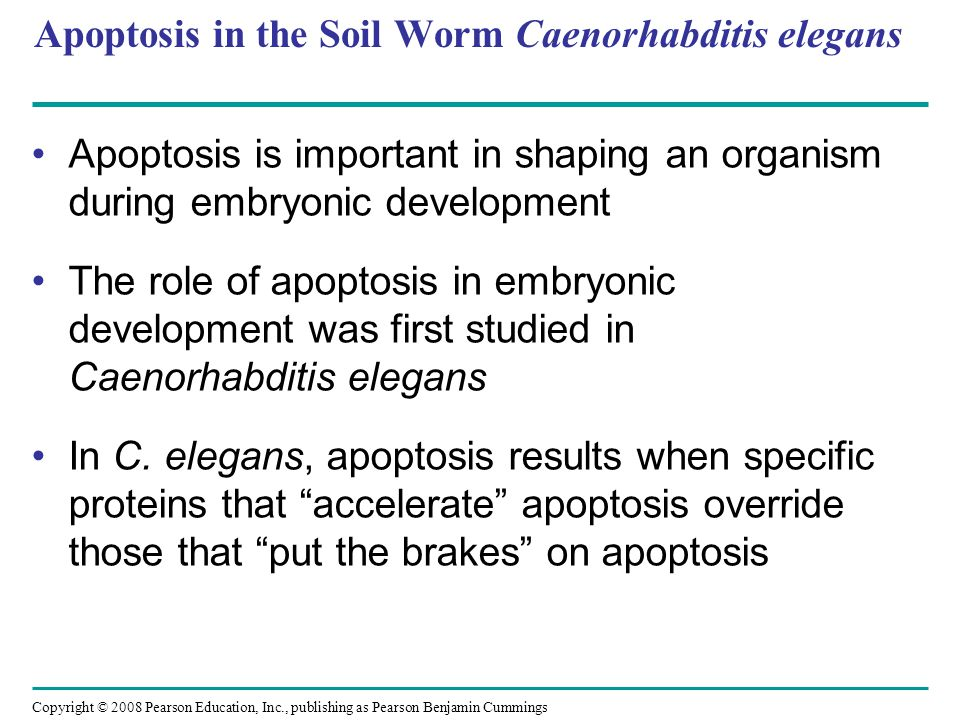 Apoptosis in the Soil Worm Caenorhabditis elegans Apoptosis is important in shaping an organism during embryonic development The role of apoptosis in