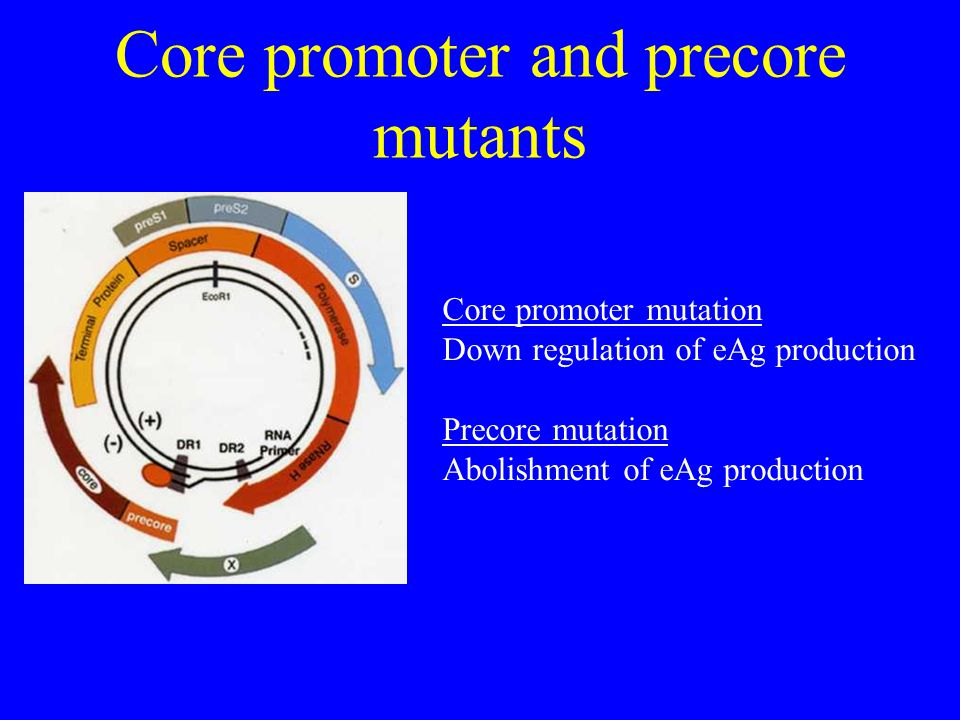Core promoter and precore mutants Core promoter mutation Down regulation of eAg production Precore mutation Abolishment of eAg production