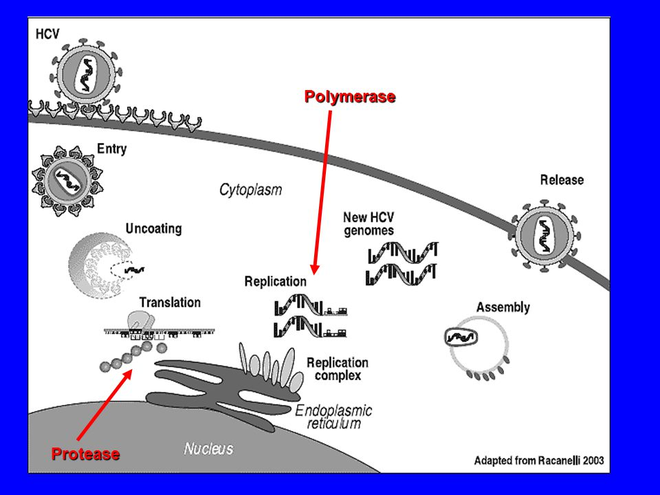 Protease Polymerase