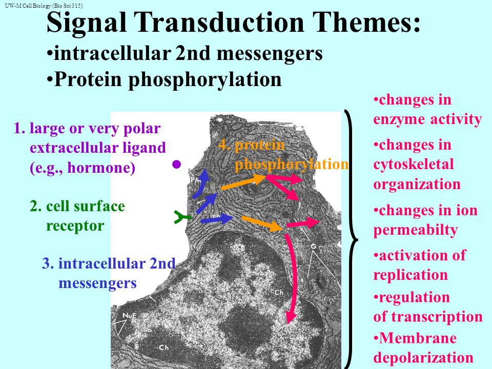 UW-M Cell Biology (Bio Sci 315) Overview of the 3 Main Signal Transduction Pathways: e.g., neurotransmission e.g., cAMP mediated flight or fight response (glycogen breakdown, muscle contraction) e.g., regulation of many genes