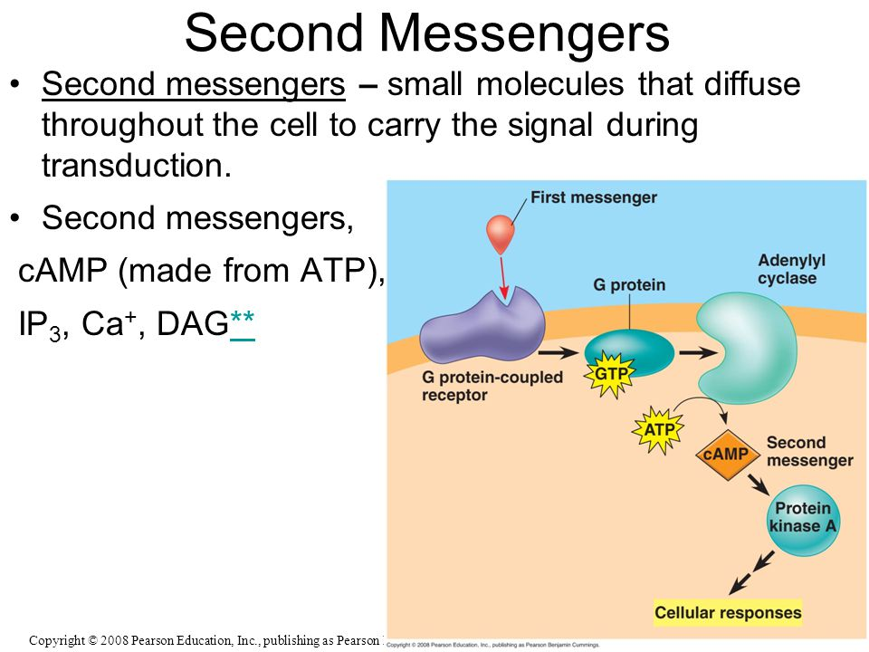 Second Messengers Second messengers – small molecules that diffuse throughout the cell to carry the signal during transduction. Second messengers, cAM