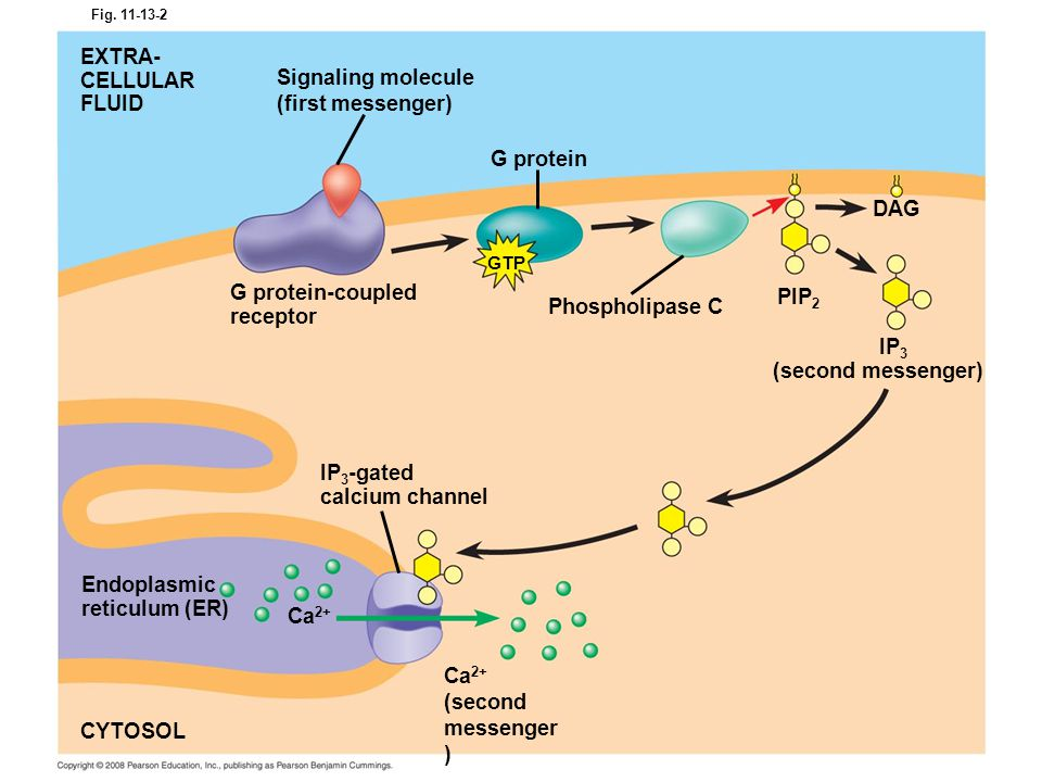 Fig. 11-13-2 G protein EXTRA- CELLULAR FLUID Signaling molecule (first messenger) G protein-coupled receptor Phospholipase C PIP 2 DAG IP 3 (second me