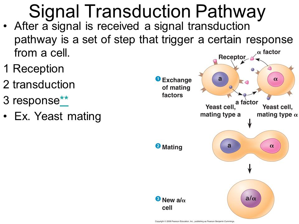 Reception Reception – delivery of a signal to a cell Signal molecules are called ligands (ex.hormones) Water soluble ligands must bind to receptor proteins in the cell membrane Non-polar or small ligands can travel directly in the cell Copyright © 2008 Pearson Education, Inc., publishing as Pearson Benjamin Cummings