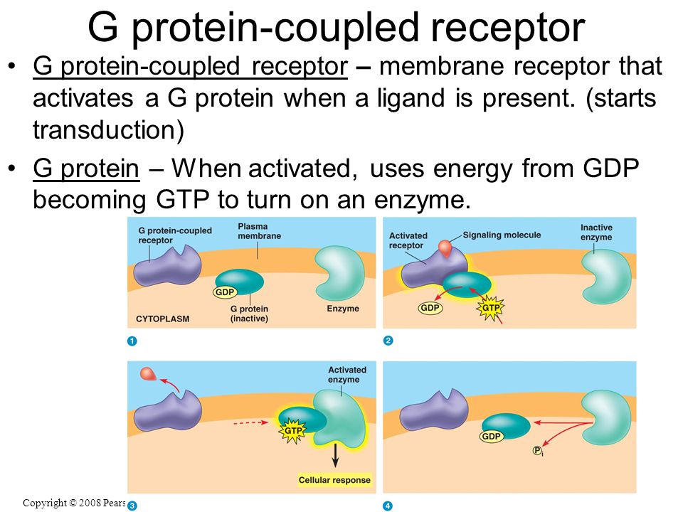G protein-coupled receptor – membrane receptor that activates a G protein when a ligand is present. (starts transduction) G protein – When activated,