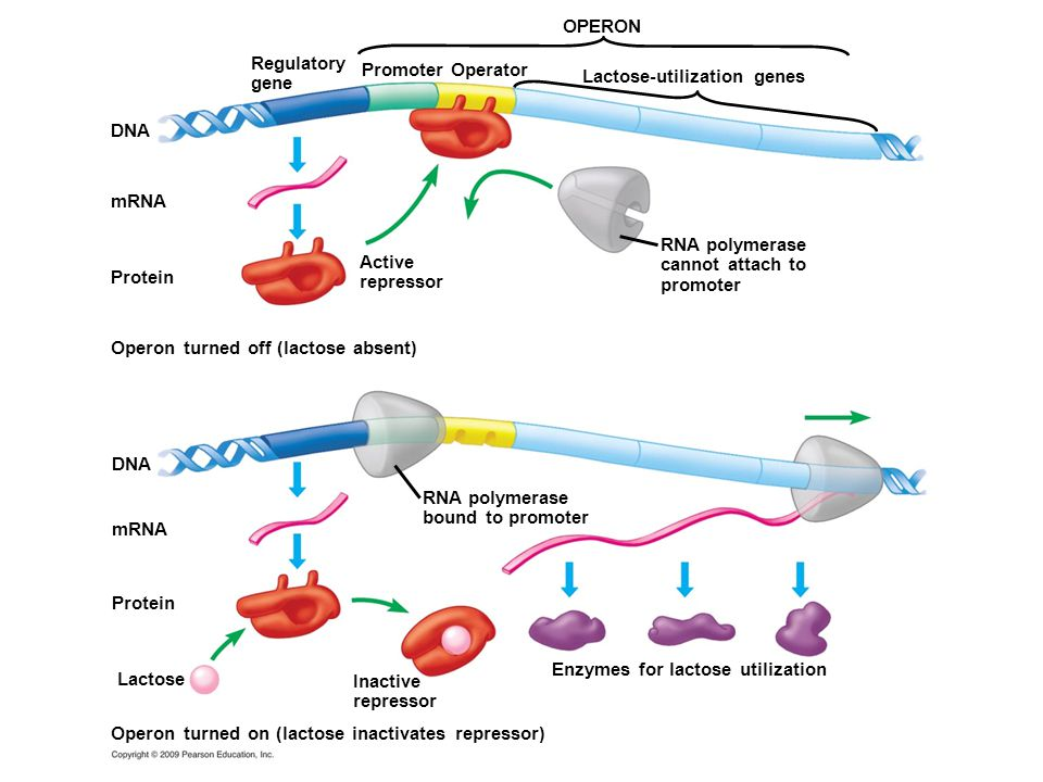 DNA RNA polymerase cannot attach to promoter Lactose-utilization genes Promoter Operator Regulatory gene OPERON Protein mRNA Inactive repressor Lactose Enzymes for lactose utilization RNA polymerase bound to promoter Operon turned on (lactose inactivates repressor) mRNA Active repressor Operon turned off (lactose absent) Protein