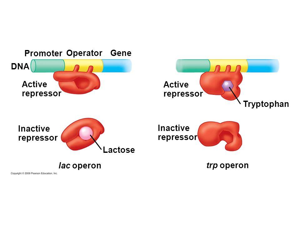DNA Inactive repressor Active repressor Inactive repressor Active repressor Lactose Promoter Tryptophan OperatorGene lac operon trp operon
