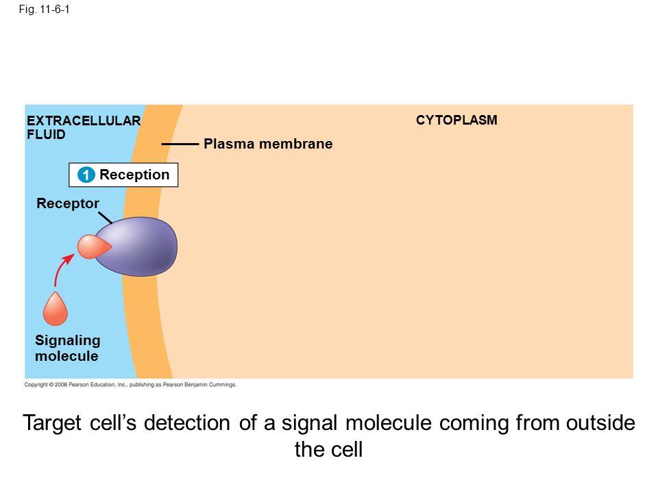 Fig. 11-6-1 Reception 1 EXTRACELLULAR FLUID Signaling molecule Plasma membrane CYTOPLASM 1 Receptor Target cell's detection of a signal molecule comin