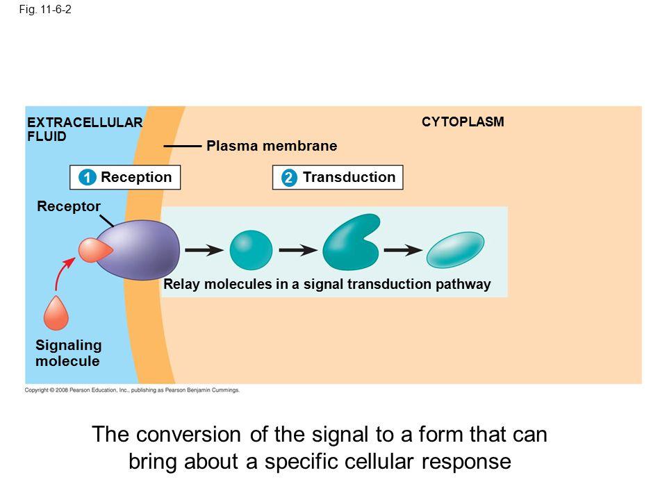 Fig. 11-6-2 1 EXTRACELLULAR FLUID Signaling molecule Plasma membrane CYTOPLASM Transduction 2 Relay molecules in a signal transduction pathway Recepti