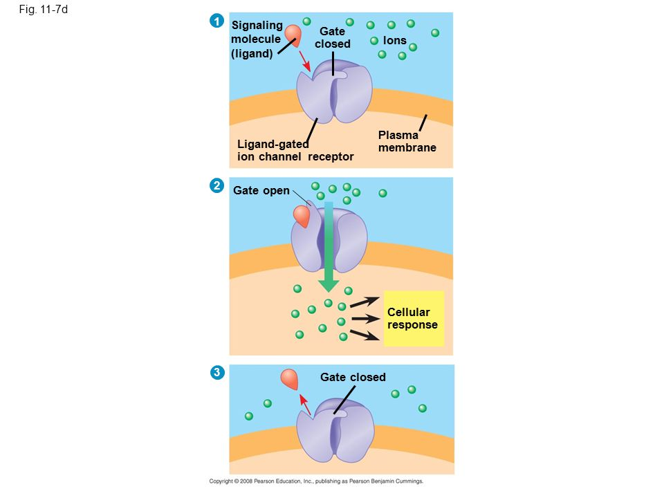 Fig. 11-7d Signaling molecule (ligand) Gate closed Ions Ligand-gated ion channel receptor Plasma membrane Gate open Cellular response Gate closed 3 2