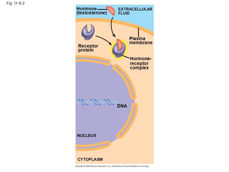 Fig. 11-8-2 Receptor protein Hormone (testosterone) EXTRACELLULAR FLUID Plasma membrane Hormone- receptor complex DNA NUCLEUS CYTOPLASM