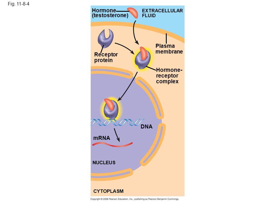 Fig. 11-8-4 Hormone (testosterone) EXTRACELLULAR FLUID Plasma membrane Receptor protein Hormone- receptor complex DNA mRNA NUCLEUS CYTOPLASM