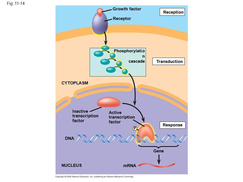 Fig. 11-14 Growth factor Receptor Phosphorylatio n cascade Reception Transduction Active transcription factor Response P Inactive transcription factor
