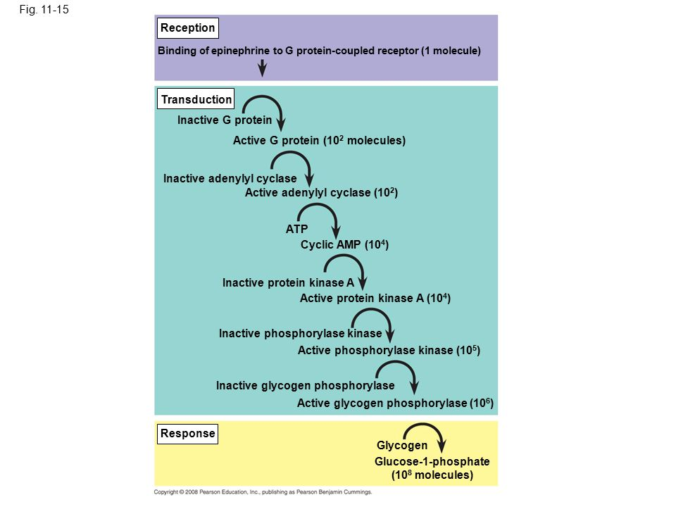 Fig. 11-15 Reception Transduction Response Binding of epinephrine to G protein-coupled receptor (1 molecule) Inactive G protein Active G protein (10 2