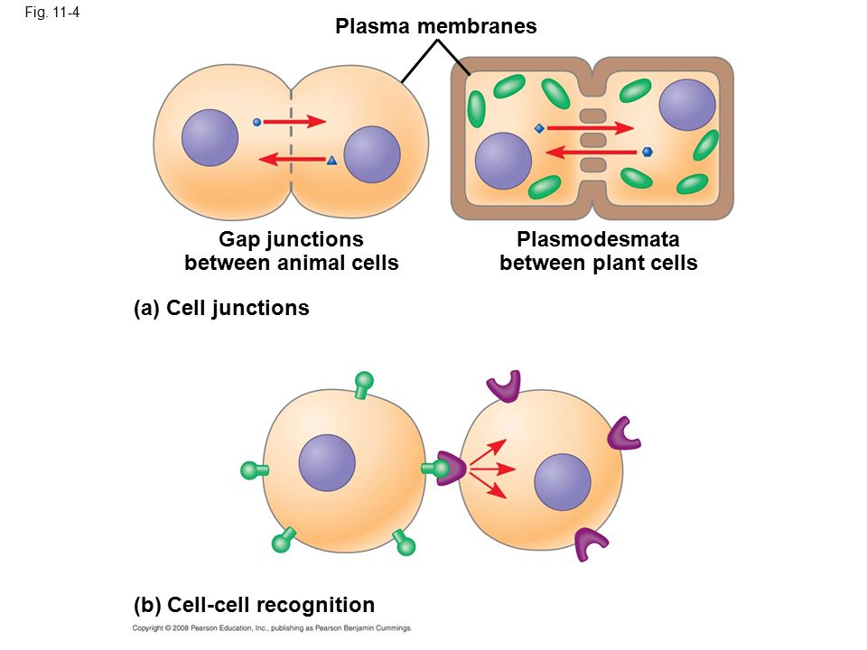 In many other cases, animal cells communicate using local regulators, messenger molecules that travel only short distances In long-distance signaling, plants and animals use chemicals called hormones Copyright © 2008 Pearson Education, Inc., publishing as Pearson Benjamin Cummings