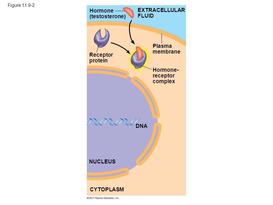 Figure 11.9-2 Hormone (testosterone) Receptor protein Plasma membrane Hormone- receptor complex DNA NUCLEUS CYTOPLASM EXTRACELLULAR FLUID