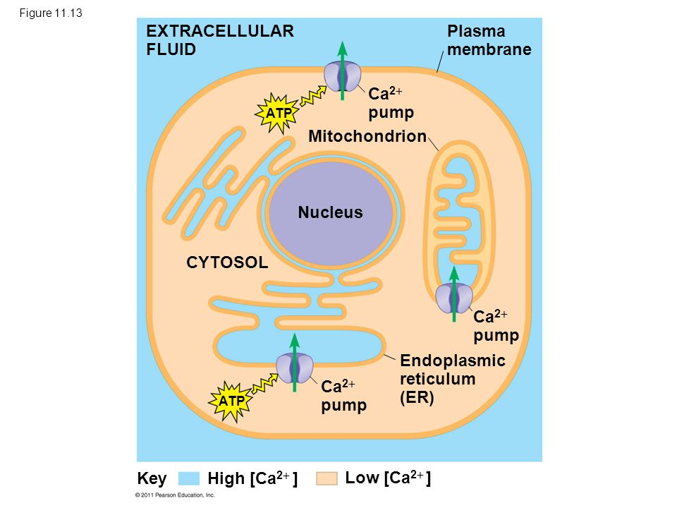 Concept 11.4: Response: Cell signaling leads to regulation of transcription or cytoplasmic activities The cell's response to an extracellular signal is sometimes called the output response © 2011 Pearson Education, Inc.