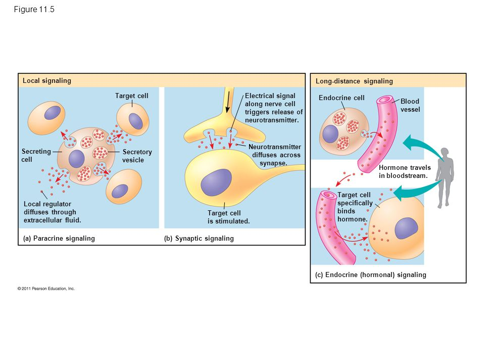 The Three Stages of Cell Signaling: A Preview Cells receiving signals go through three processes –Reception –Transduction –Response © 2011 Pearson Education, Inc.