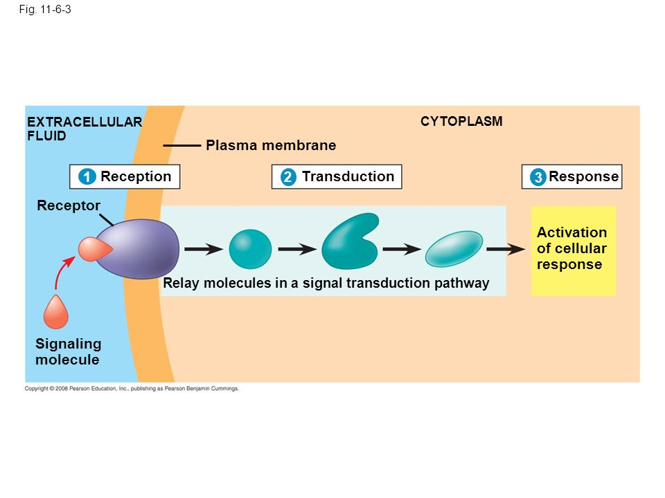 Fig. 11-6-3 EXTRACELLULAR FLUID Plasma membrane CYTOPLASM Receptor Signaling molecule Relay molecules in a signal transduction pathway Activation of c