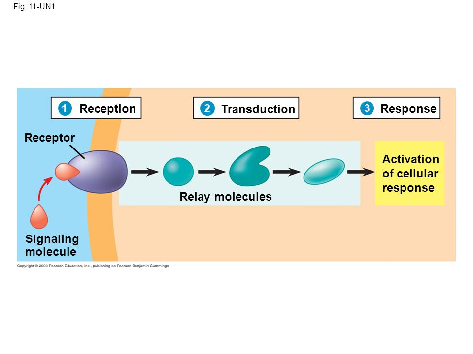 Fig. 11-UN1 Reception Transduction Response Receptor Relay molecules Signaling molecule Activation of cellular response 1 2 3