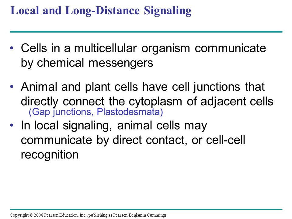 Concept 11.4: Response: Cell signaling leads to regulation of transcription or cytoplasmic activities Copyright © 2008 Pearson Education, Inc., publishing as Pearson Benjamin Cummings Many signaling pathways regulate the synthesis of enzymes or other proteins, usually by turning genes on or off in the nucleus The final activated molecule may function as a transcription factor Cytoskeleton rearrangement or Enzyme activity regulation