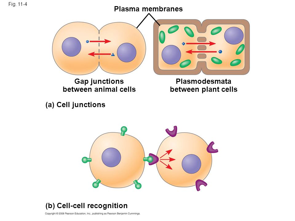 Fig. 11-4 Plasma membranes Gap junctions between animal cells (a) Cell junctions Plasmodesmata between plant cells (b) Cell-cell recognition