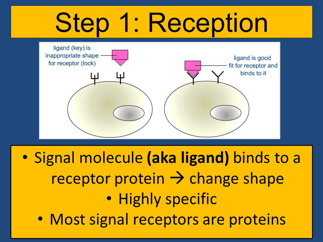 Step 1: Reception Signal molecule (aka ligand) binds to a receptor protein  change shape Highly specific Most signal receptors are proteins
