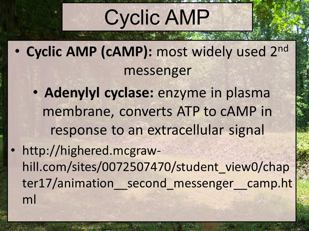 Cyclic AMP Cyclic AMP (cAMP): most widely used 2 nd messenger Adenylyl cyclase: enzyme in plasma membrane, converts ATP to cAMP in response to an extracellular signal http://highered.mcgraw- hill.com/sites/0072507470/student_view0/chap ter17/animation__second_messenger__camp.ht ml