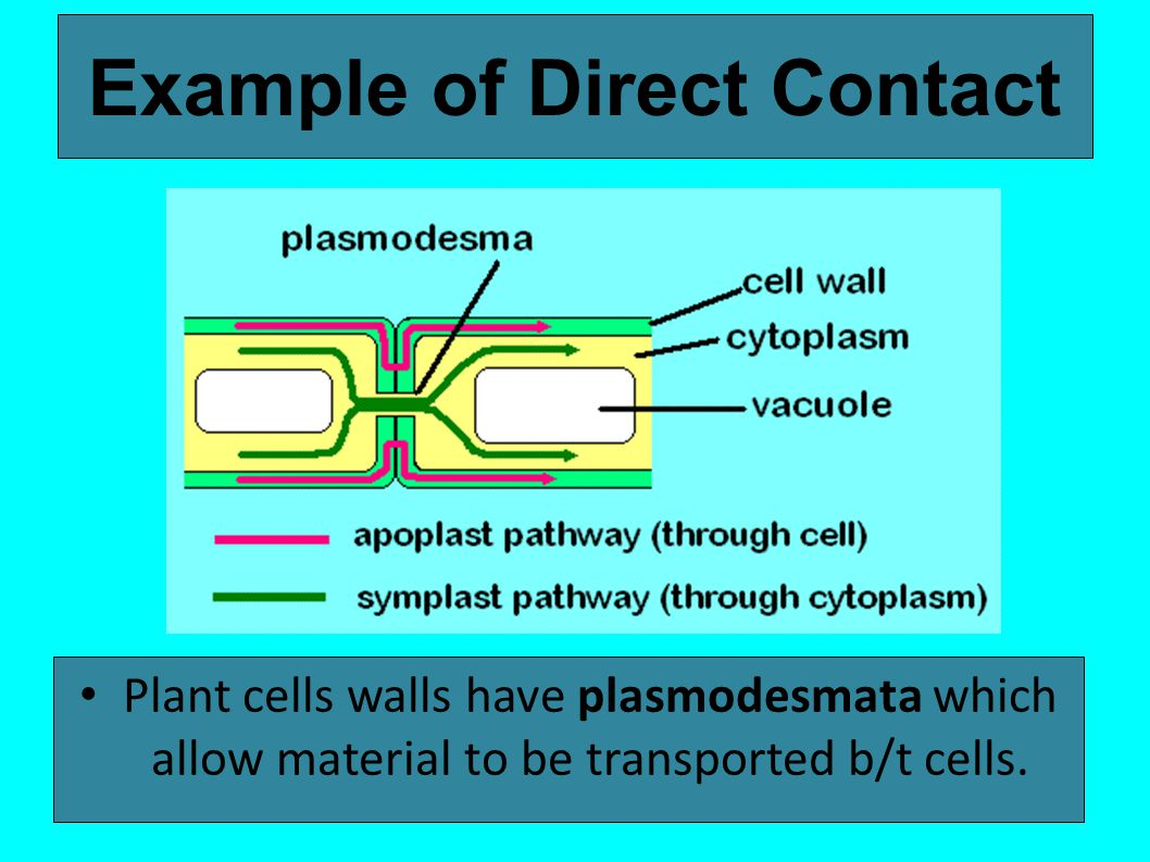 Example of Direct Contact Plant cells walls have plasmodesmata which allow material to be transported b/t cells.