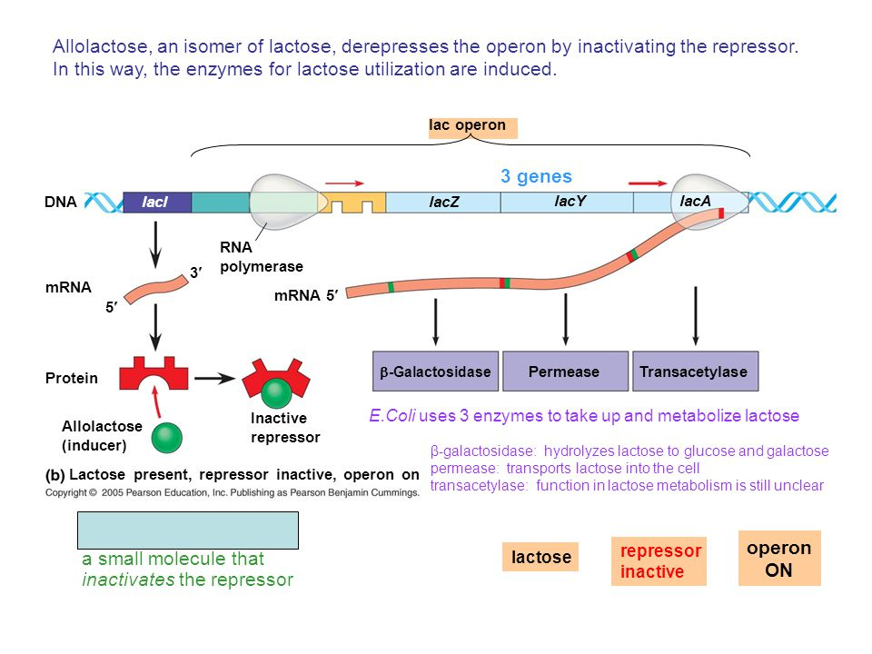 DNAlacl mRNA 5 3 lac operon Lactose present, repressor inactive, operon on lacZ lacYlacA RNA polymerase mRNA 5 Protein Allolactose (inducer) Inactive repressor  -Galactosidase Permease Transacetylase Allolactose, an isomer of lactose, derepresses the operon by inactivating the repressor.