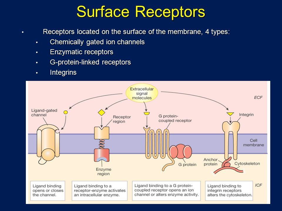 Surface Receptors Receptors located on the surface of the membrane, 4 types: Receptors located on the surface of the membrane, 4 types: Chemically gated ion channels Chemically gated ion channels Enzymatic receptors Enzymatic receptors G-protein-linked receptors G-protein-linked receptors Integrins Integrins