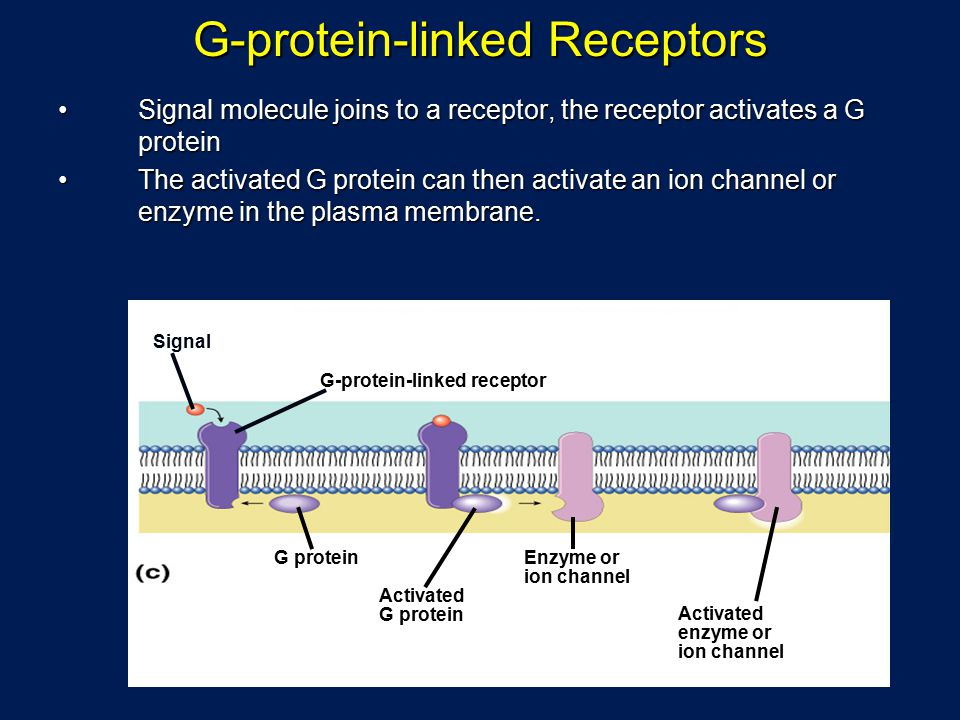 G-protein-linked Receptors Signal molecule joins to a receptor, the receptor activates a G proteinSignal molecule joins to a receptor, the receptor activates a G protein The activated G protein can then activate an ion channel or enzyme in the plasma membrane.The activated G protein can then activate an ion channel or enzyme in the plasma membrane.