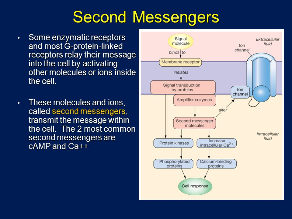 Second Messengers Some enzymatic receptors and most G-protein-linked receptors relay their message into the cell by activating other molecules or ions inside the cell.