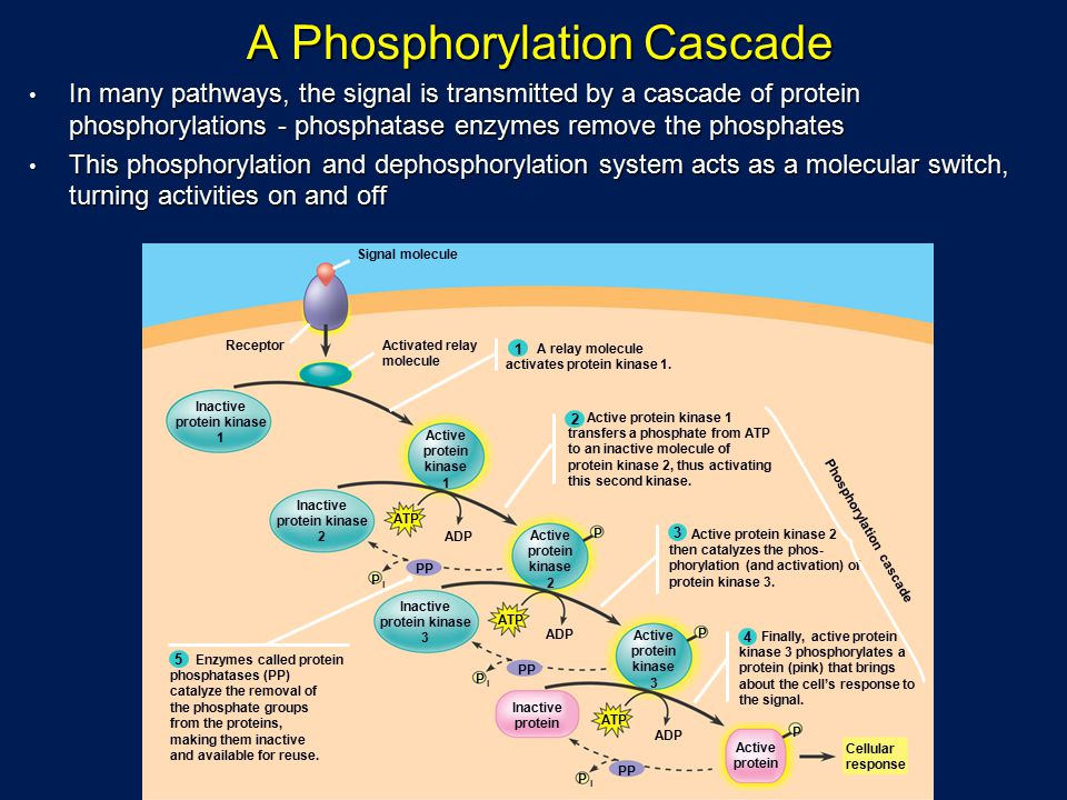 A Phosphorylation Cascade A Phosphorylation Cascade In many pathways, the signal is transmitted by a cascade of protein phosphorylations - phosphatase enzymes remove the phosphates In many pathways, the signal is transmitted by a cascade of protein phosphorylations - phosphatase enzymes remove the phosphates This phosphorylation and dephosphorylation system acts as a molecular switch, turning activities on and off This phosphorylation and dephosphorylation system acts as a molecular switch, turning activities on and off Signal molecule Active protein kinase 1 Active protein kinase 2 Active protein kinase 3 Inactive protein kinase 1 Inactive protein kinase 2 Inactive protein kinase 3 Inactive protein Active protein Cellular response Receptor P P P P P P ATP ADP ATP PP Activated relay molecule A relay molecule activates protein kinase 1.