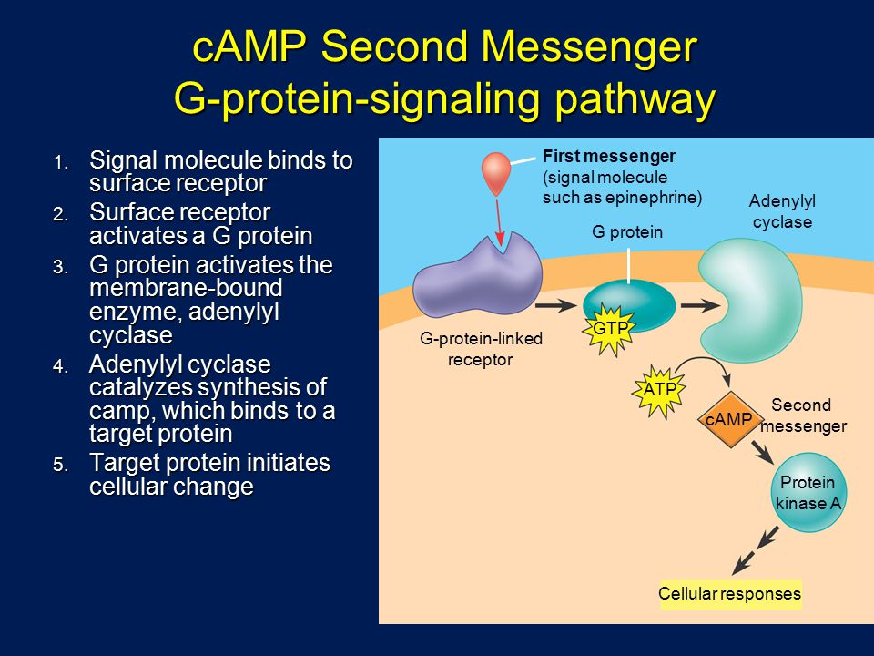 cAMP Second Messenger G-protein-signaling pathway 1.